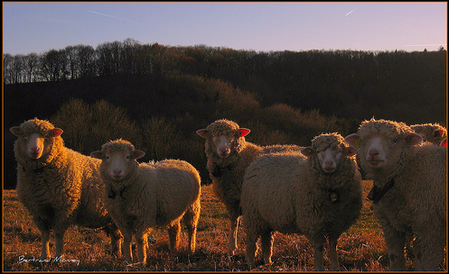 "capture de ""Mes moutons"" de Bertrand Monney"